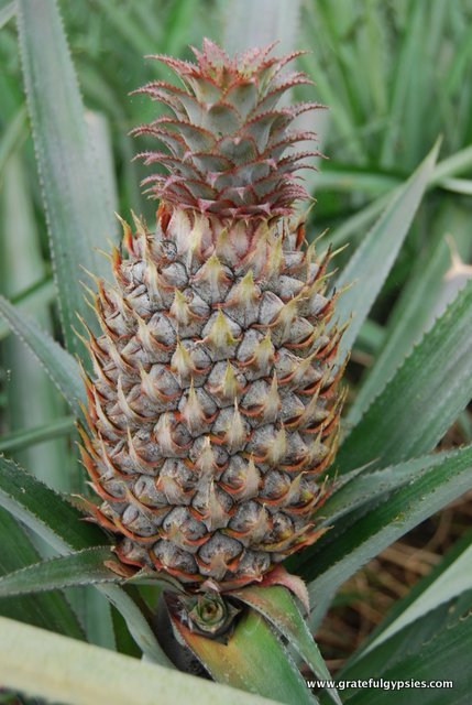 We finally learned where pineapples come from!