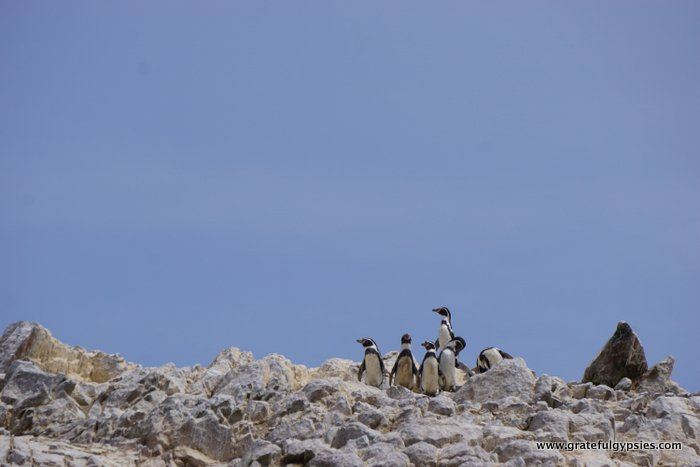 Ballestas Islands penguins