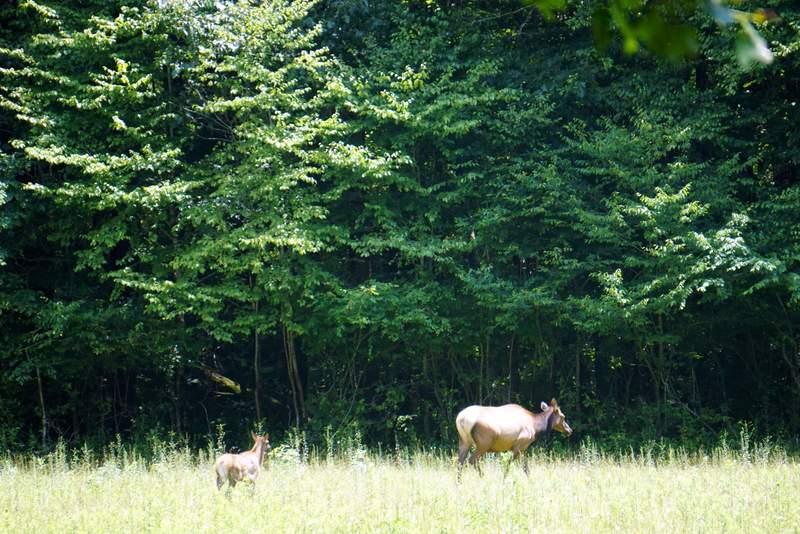 Elk in the Great Smoky Mountains